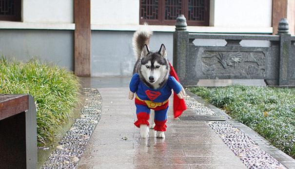 deguisements-halloween-pour-animaux-super-husky-2