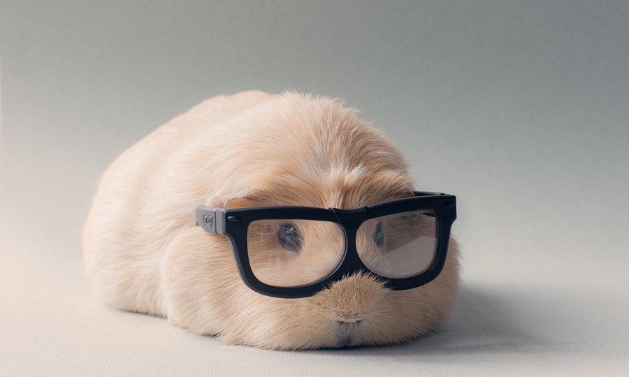 booboo-guinea-pig