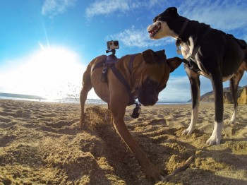 harnais gopro chiens Fetch