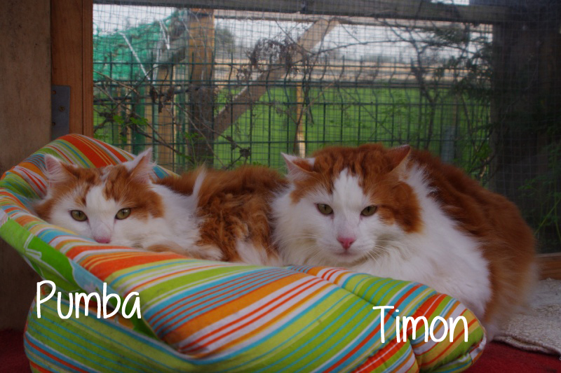 Timon-Pumba-chat-adopter
