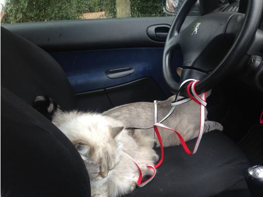 chat-voiture-transport