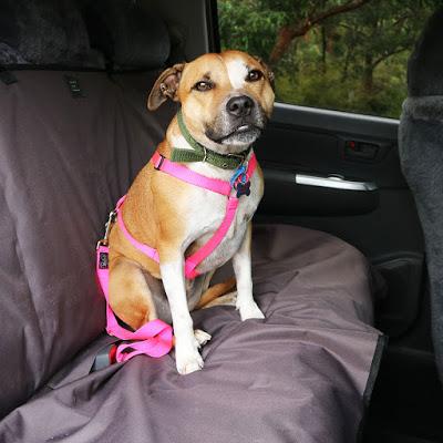 sécurité en voiture avec son chien