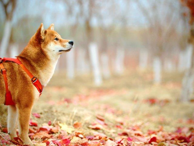 changement de saison chez le chien